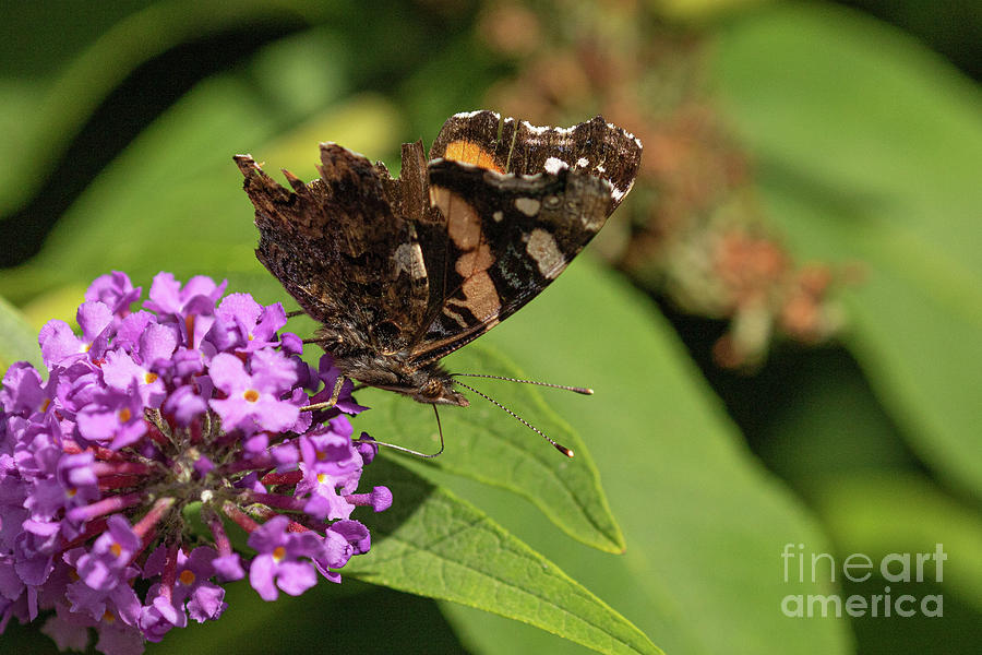 Red Admiral Photograph