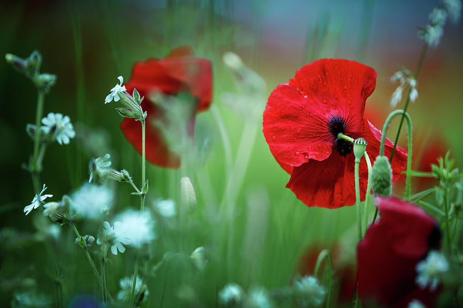 Red Corn Poppy Flowers Photograph