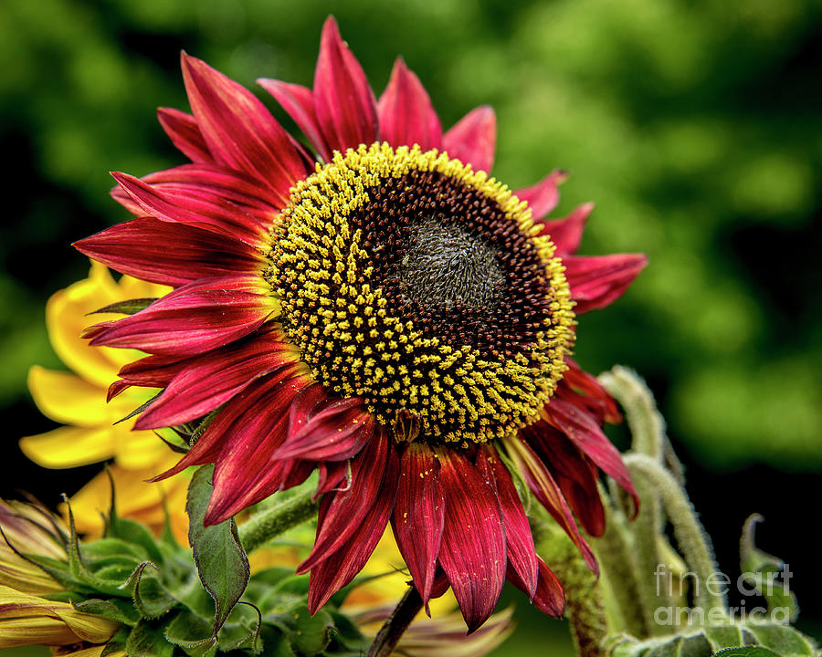 Red Sunflower by Alana Ranney