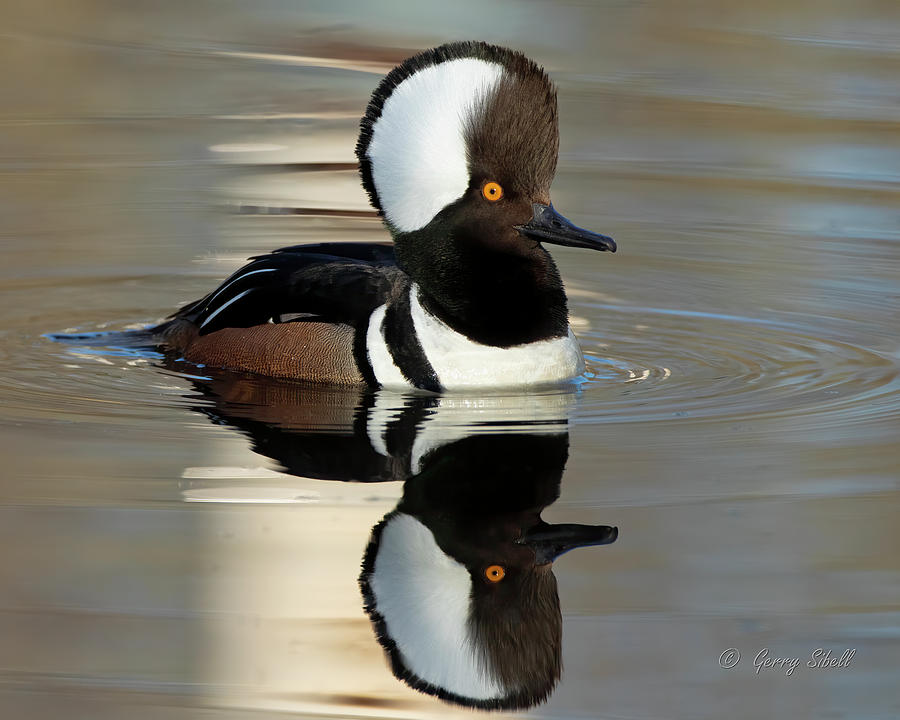 Reflecting by Gerry Sibell