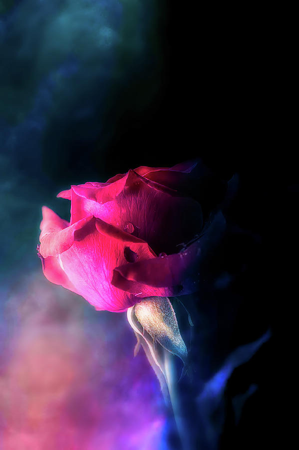 Rose  by Allin Sorenson
