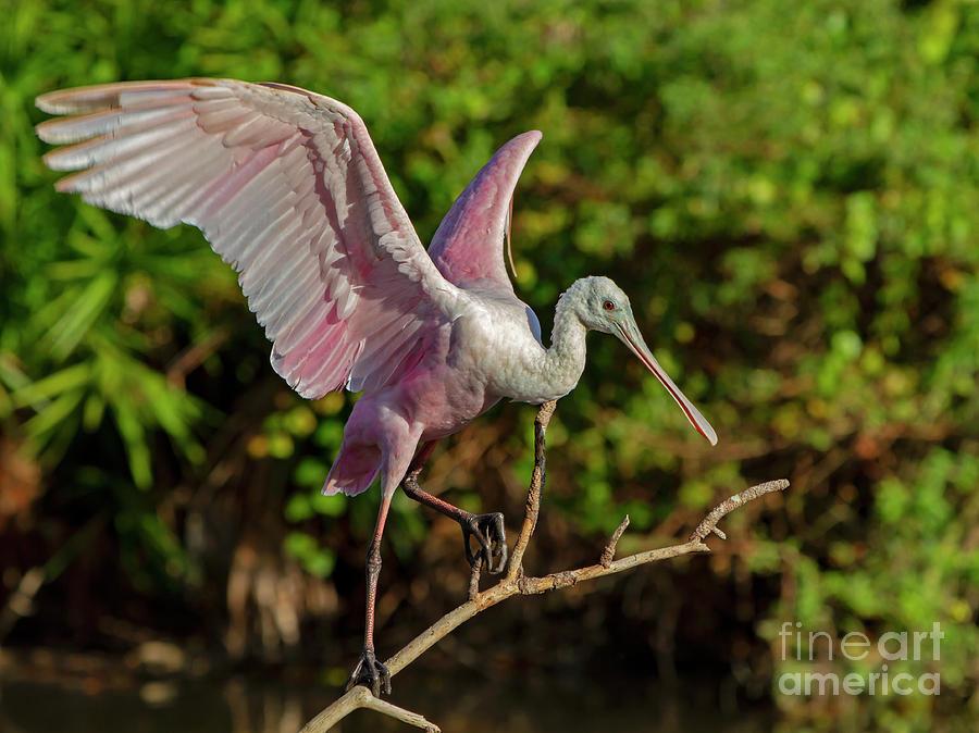 Bird Photograph - Roseate Spoonbill by Blair Howell