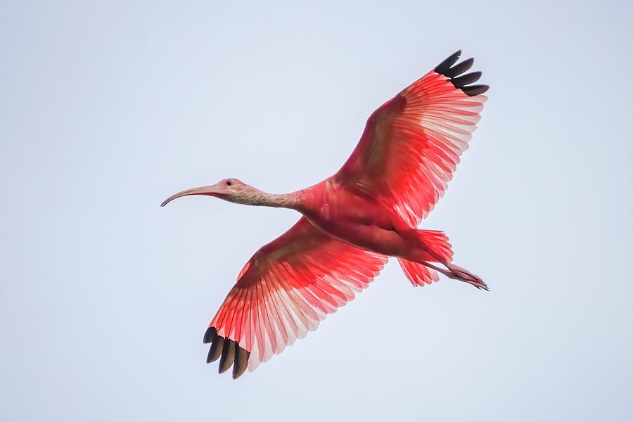 Scarlet Ibis Hato Barley Tauramena Casanare Colombia by Adam Rainoff