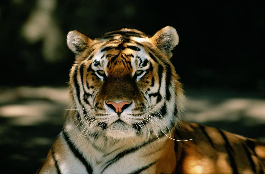 Siberian Tiger Panthera Tigris Altaica 3 Photograph by David Ponton