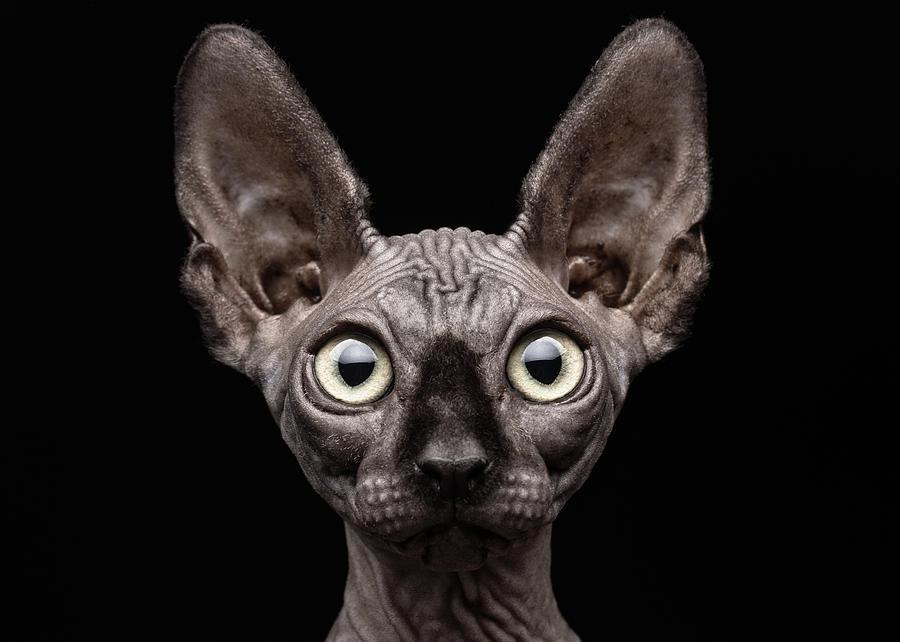 Cat Photograph - Sphynx Cat by Patrick Matte