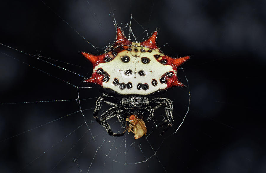 Spiny Orb Weaver by Larah McElroy