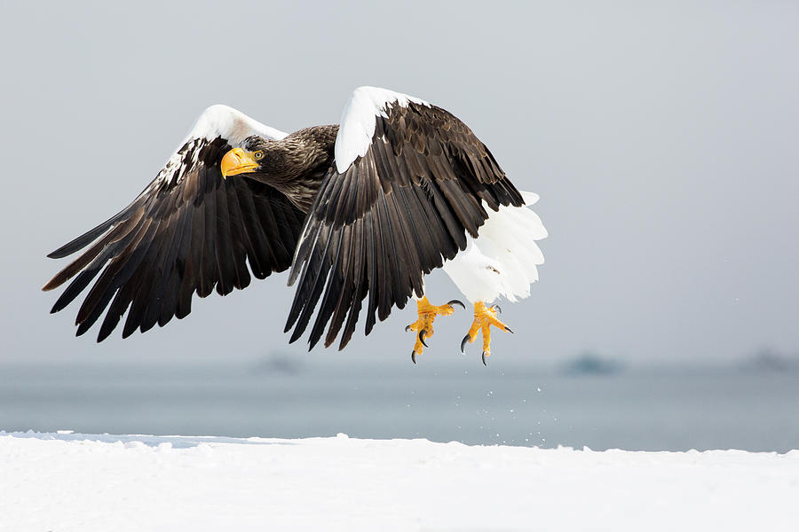 Cold Photograph - Stellers Sea Eagle Flying 3 by Darrell Gulin