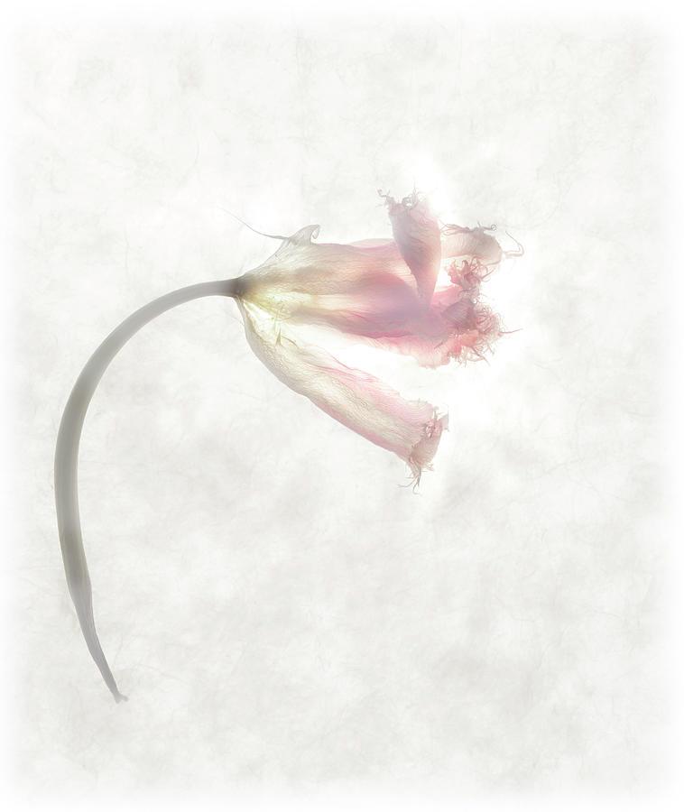 Still Life Of A Flower 3 Photograph by Joyce Tenneson