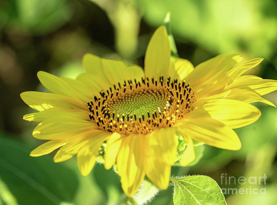 Sunflower by Cathy Donohoue