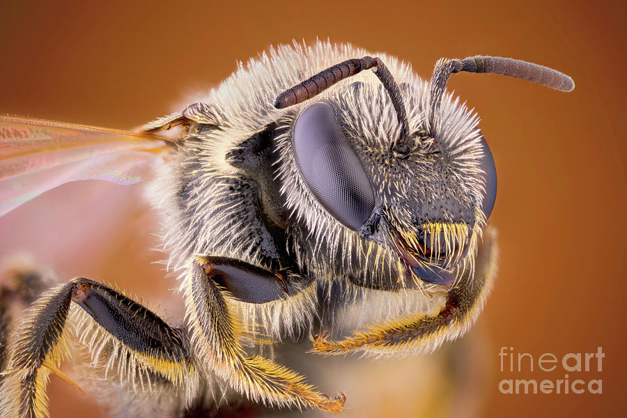 Sweat Bee Photograph - Sweat Bee by Ozgur Kerem Bulur/science Photo Library