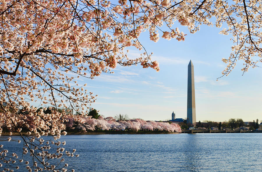 Washington Dc Cherry Blossoms And Photograph by Ogphoto
