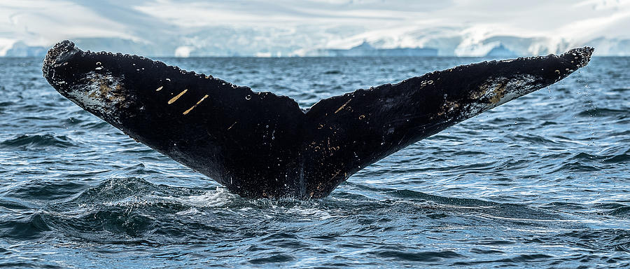 Horizontal Photograph - Whale In The Ocean, Southern Ocean by Panoramic Images
