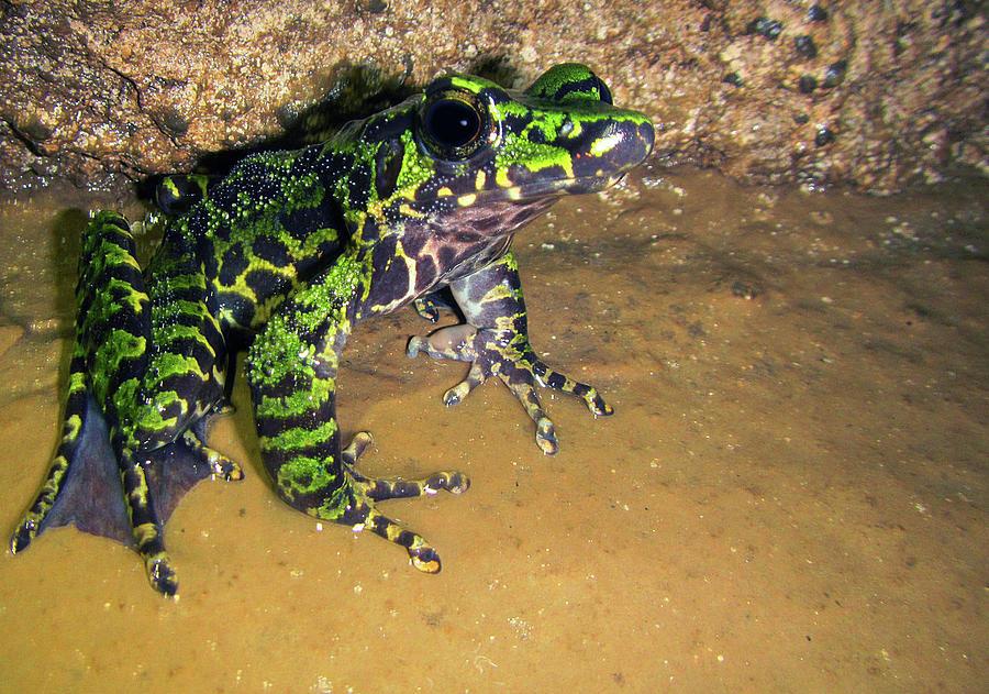 Wuchuan Odorous Frog Odorrana by DANTE FENOLIO
