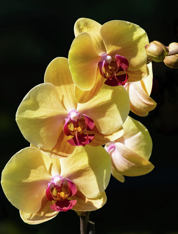 3 yellow orchids by Silvia Marcoschamer