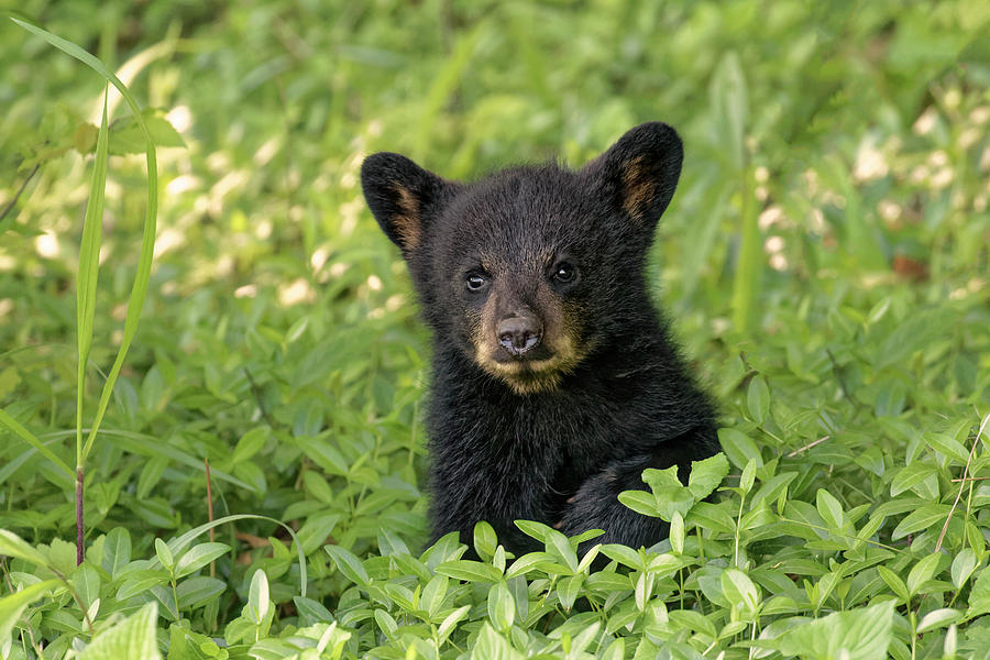 Adam Jones Photograph - Young Black Bear Cub, Ursus Americanus by Adam Jones