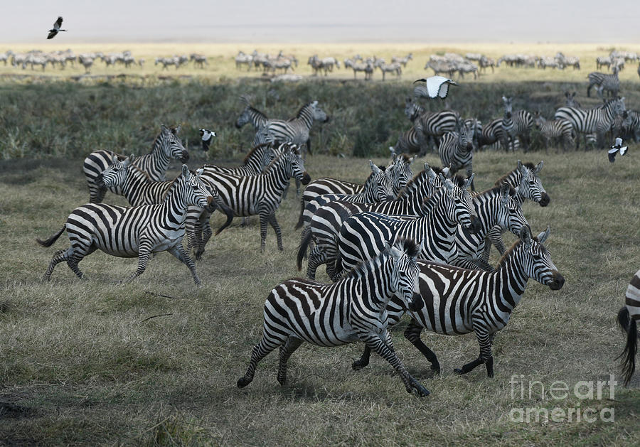 Zebra Herd at mudhole by Steve Somerville