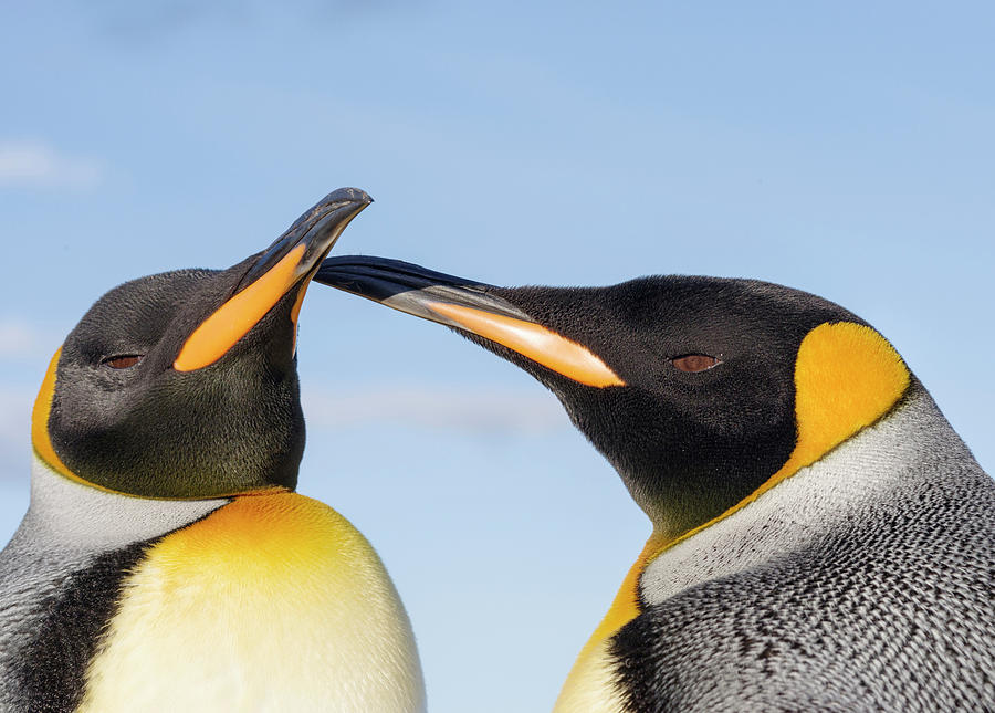 Antarctica Photograph - King Penguin On The Falkland Islands by Martin Zwick