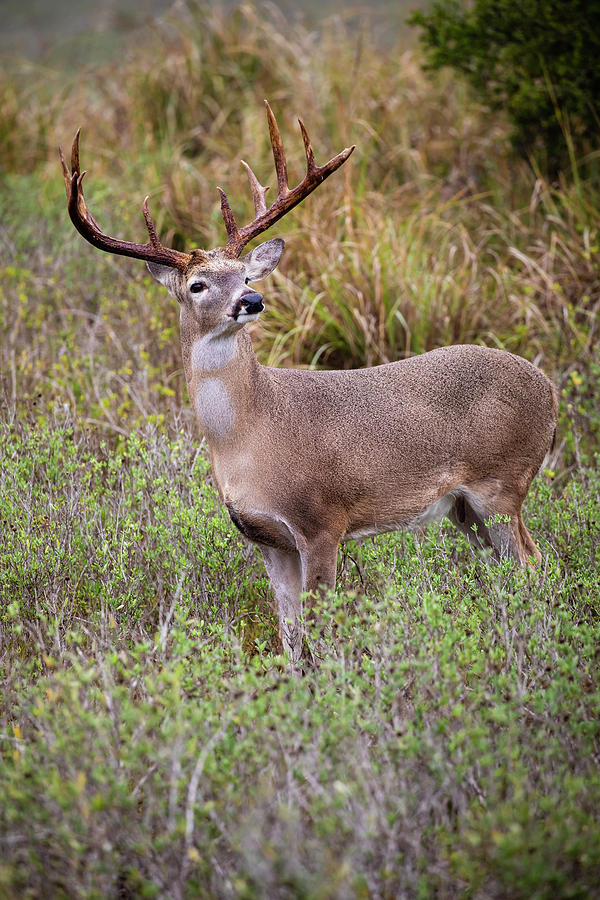 Baby Animal Photograph - White-tailed Deer (odocoileus 32 by Larry Ditto