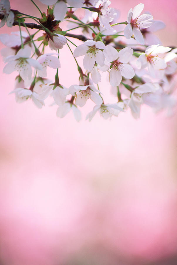Celebration Photograph - Cherry Blossoms by Ooyoo