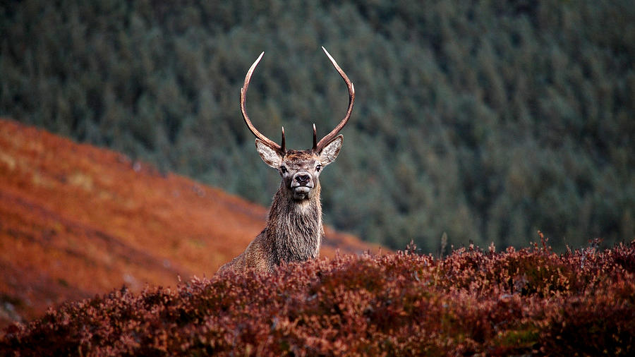 Red Deer Stag by Gavin MacRae
