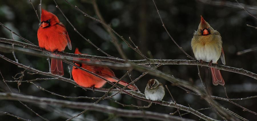 3Cardinals and a Sparrow by John Harding