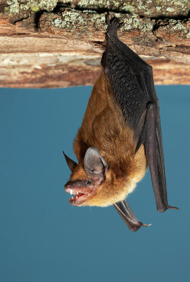 Big Brown Bat by Ivan Kuzmin