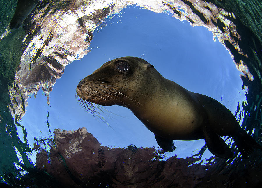 California Sea Lion Undersea Photograph by Luis Javier Sandoval
