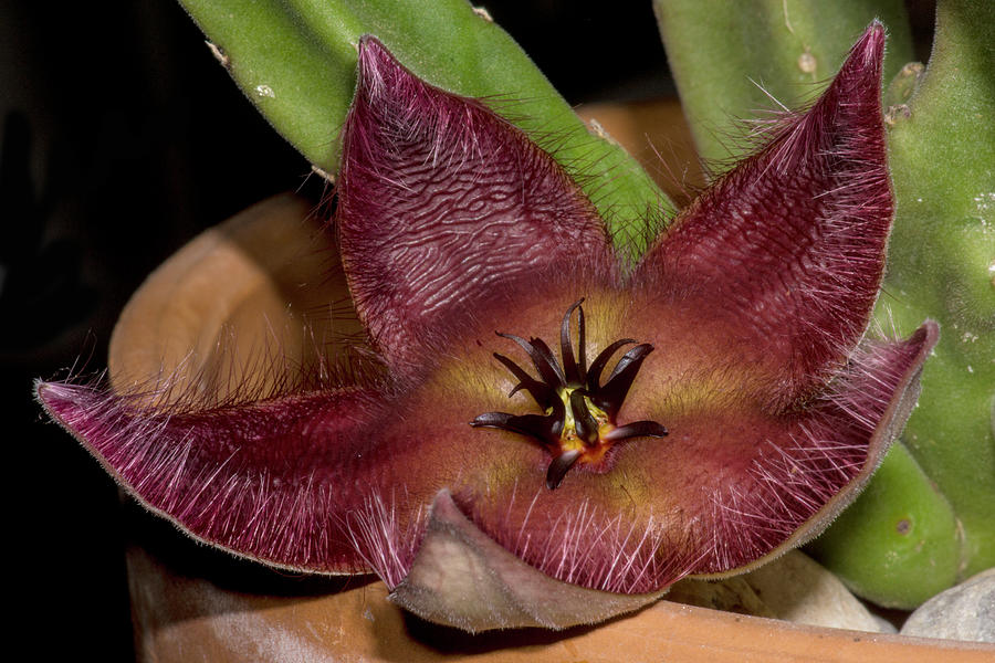 Carrion Flower Stapelia Hirsuta by DANTE FENOLIO