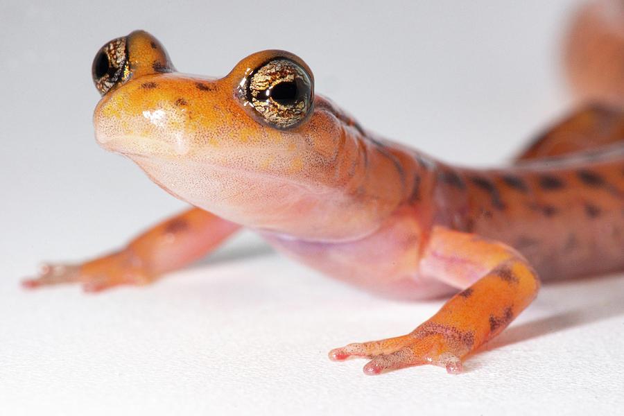 Adorable Photograph - Cave Salamander, Eurycea Lucifuga by Dante Fenolio