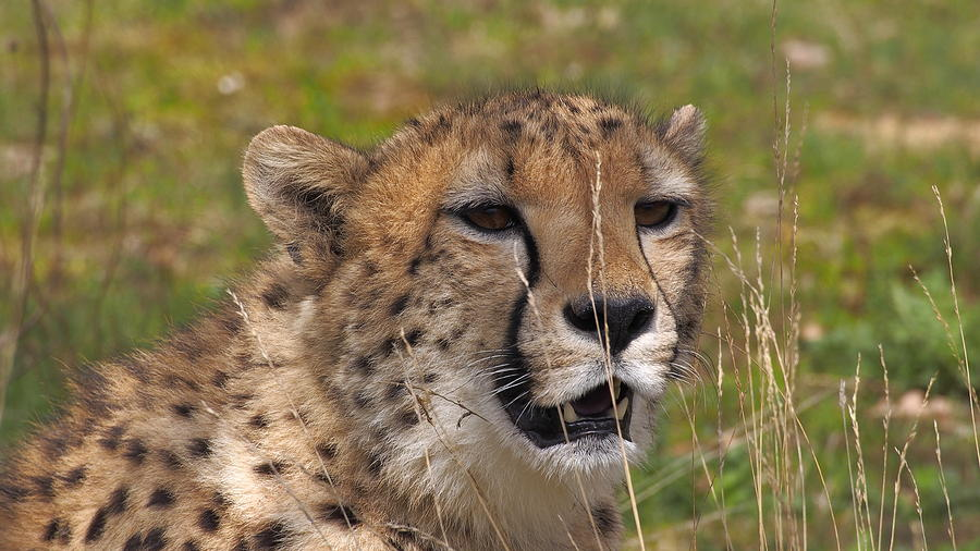 Cheetah close up by Eye to Eye Xperience