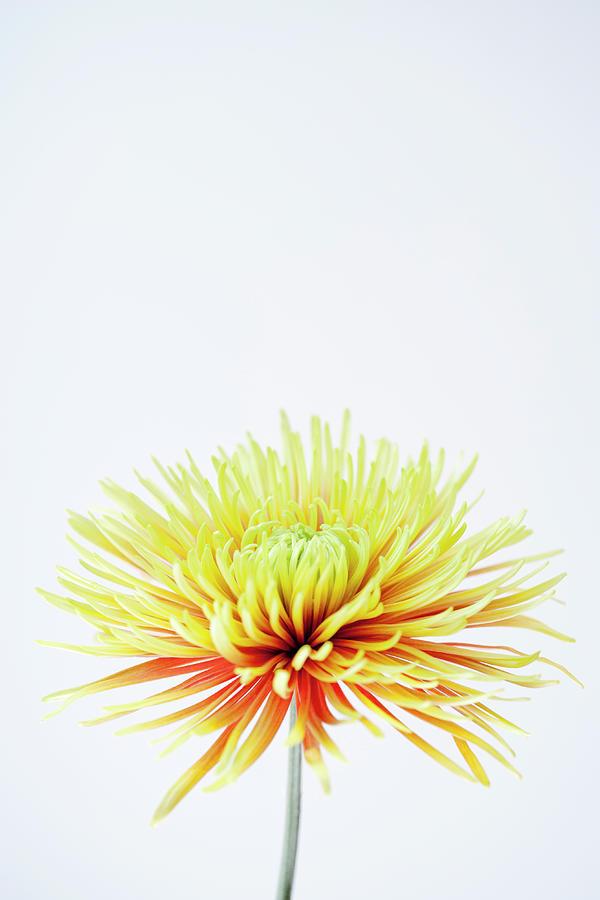 Chrysanthemum Flower Photograph by Nicholas Rigg