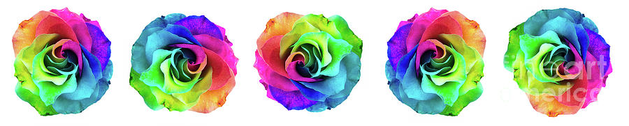 Closeup of a rainbow colored rose in full bloom by Amy Cicconi