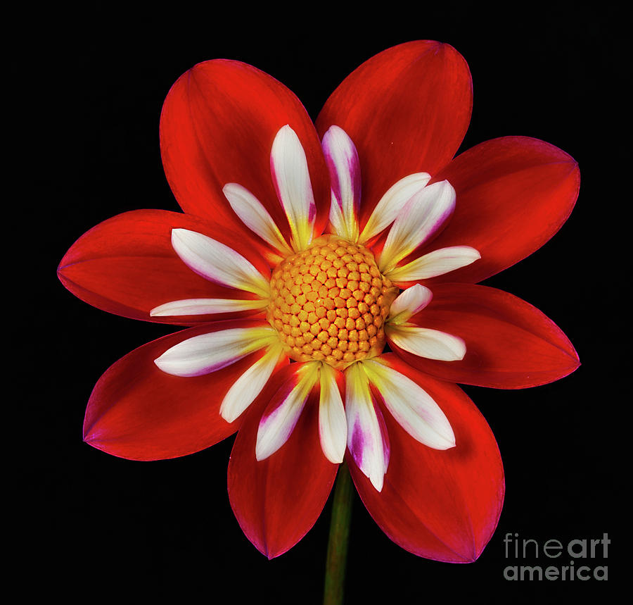 Dahlia 'Apopa Cindy' by Ann Jacobson