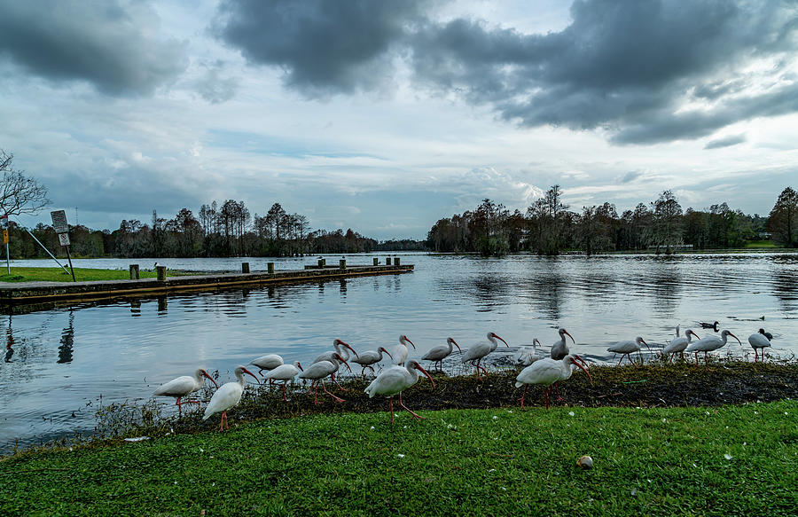 Duck Photograph - Ducks And Ibis by Ric Schafer