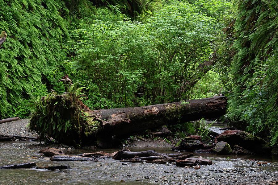 4 Fern Grove, Redwoods, N. California by Phyllis Spoor