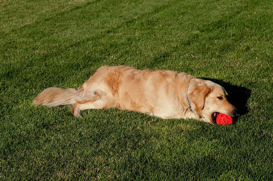 Ball Photograph - Golden Retriever by William Mullins