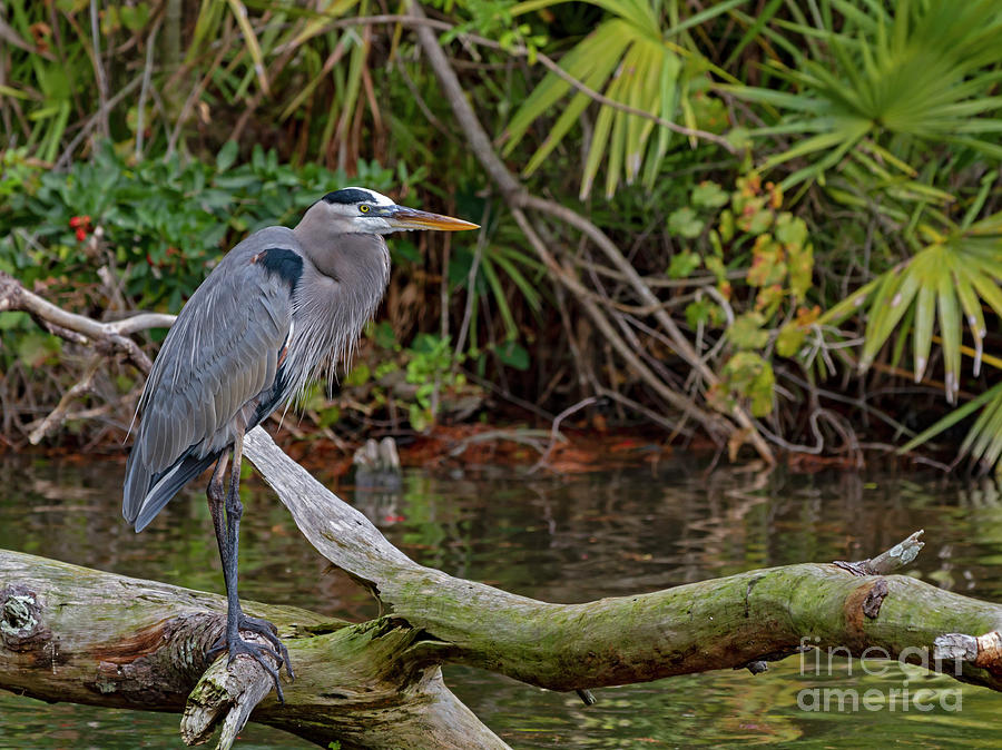 Heron Photograph - Great Blue Heron by Blair Howell