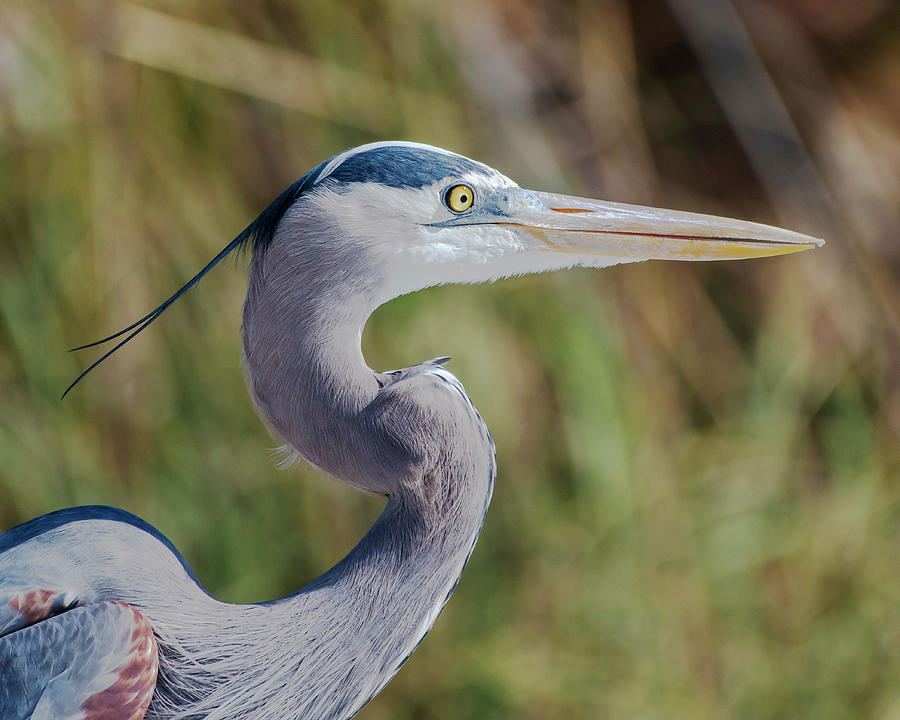Great Blue Heron by Ken Stampfer