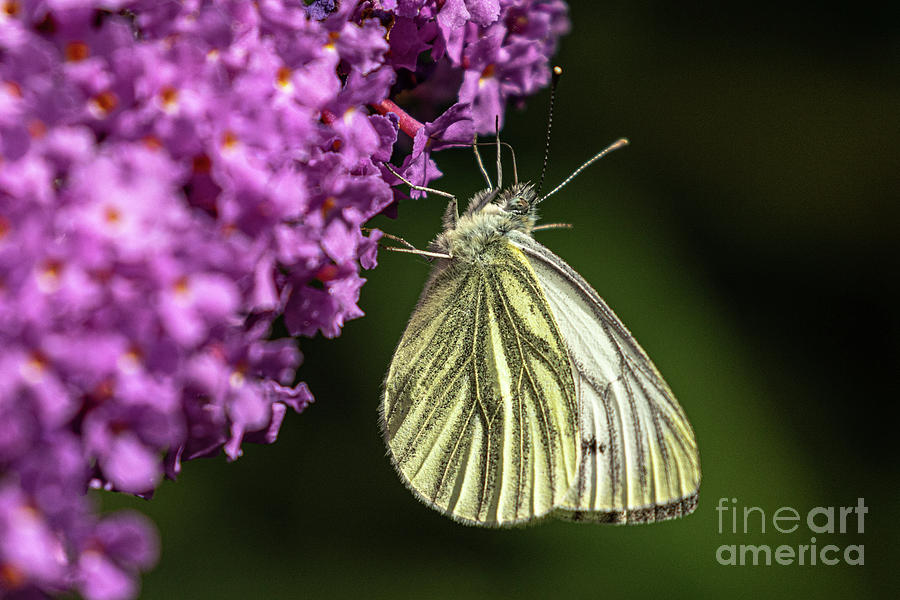 Green Veined White by Brian Roscorla