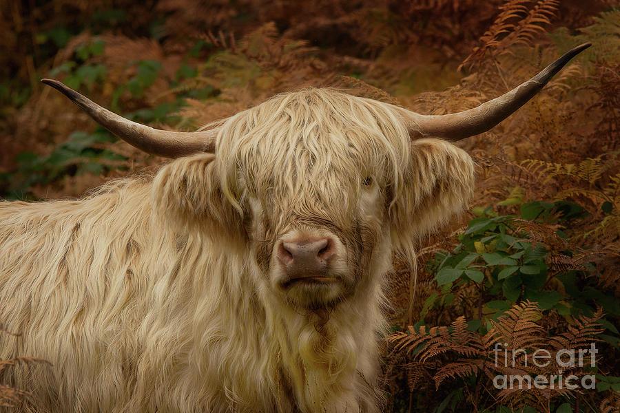 Highland Cow Photograph