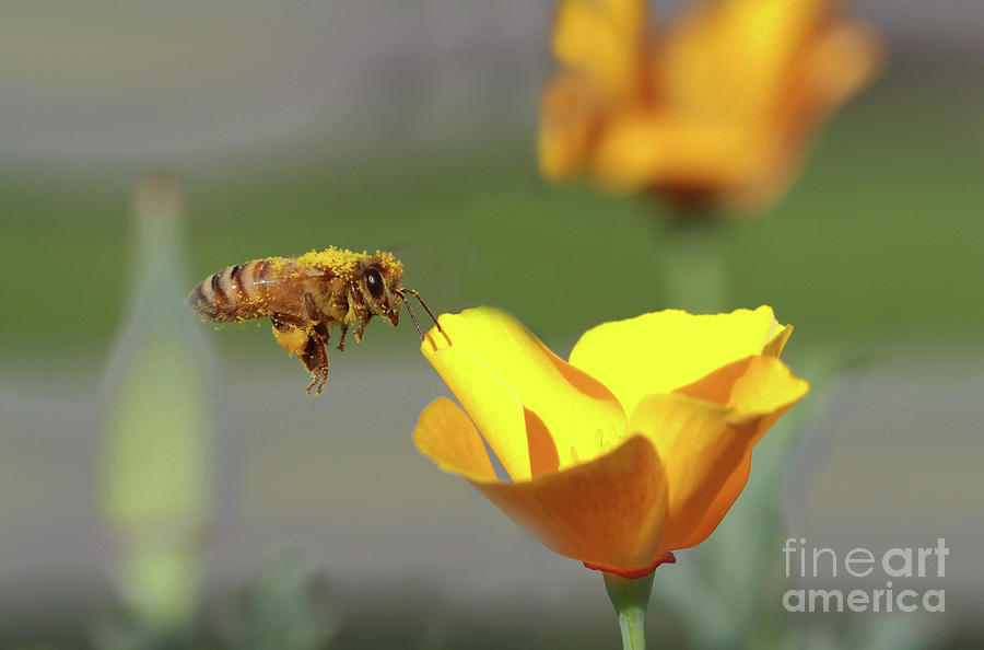 Honey Bee Photograph - Honey Bee by Gary Wing