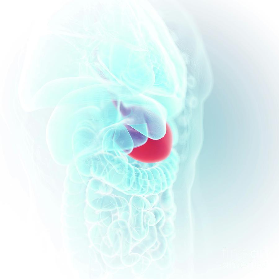 3d Photograph - Illustration Of The Stomach 4 by Sebastian Kaulitzki/science Photo Library