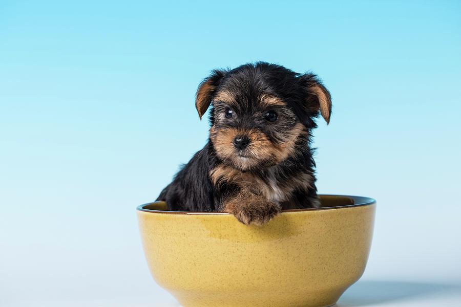 Alert Photograph - Issaquah, Wa Golden Retriever Puppy by Janet Horton