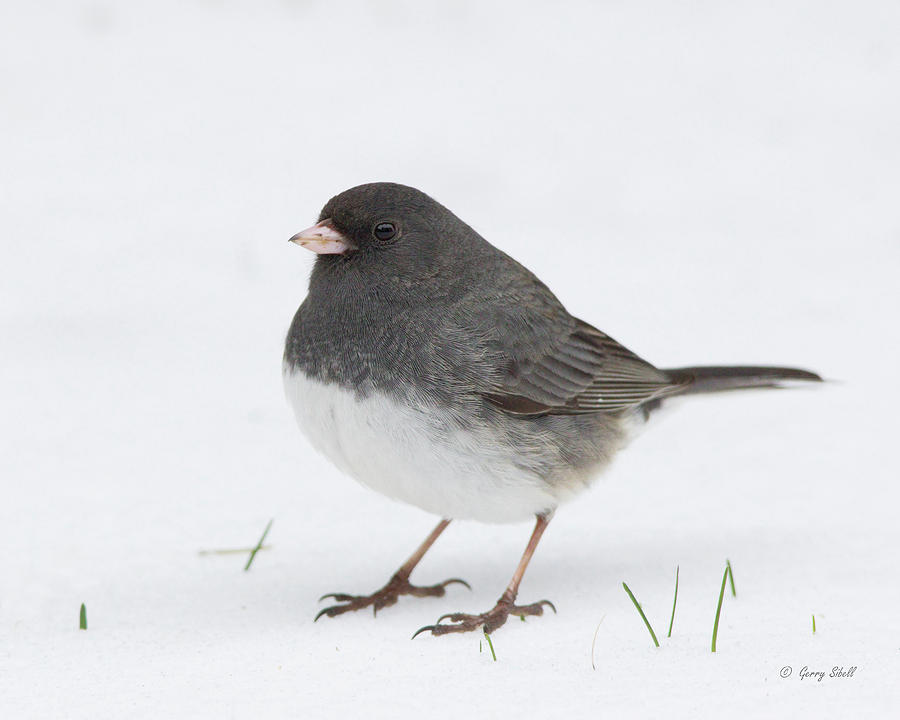 Jimmy Junco by Gerry Sibell