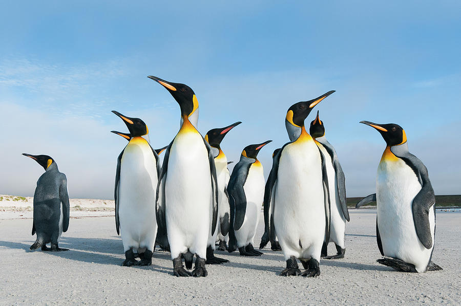 King Penguins On Volunteer Beach Photograph by Tui De Roy