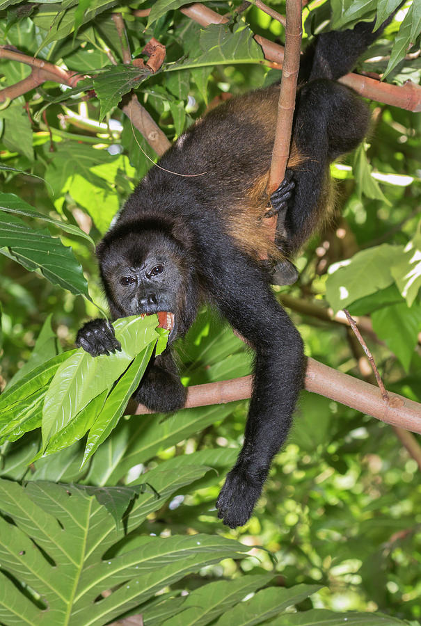 Mantled Howler Monkey Eating Leaves by Ivan Kuzmin