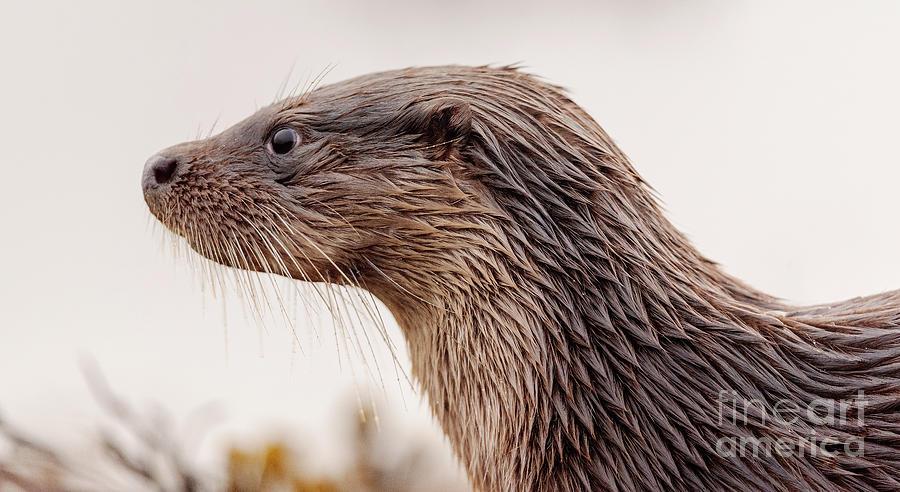 Otter Photograph
