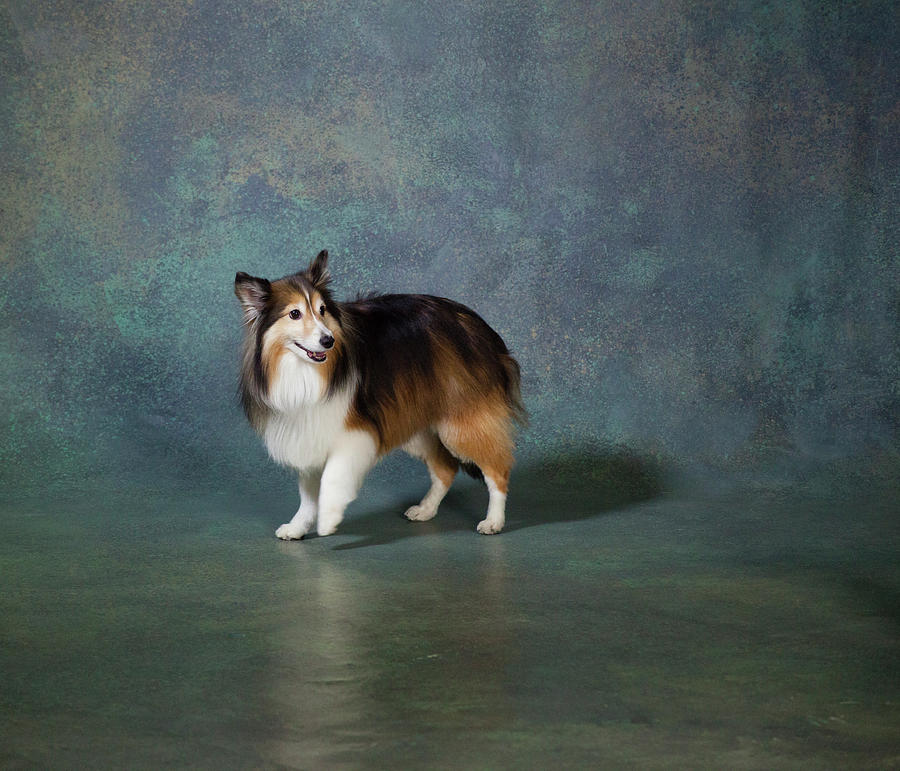 Horizontal Photograph - Portrait Of A Shetland Sheepdog Dog by Panoramic Images