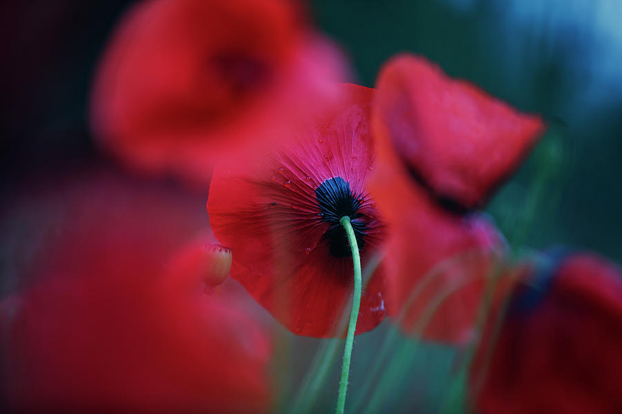 Red Corn Poppy Flowers by Nailia Schwarz