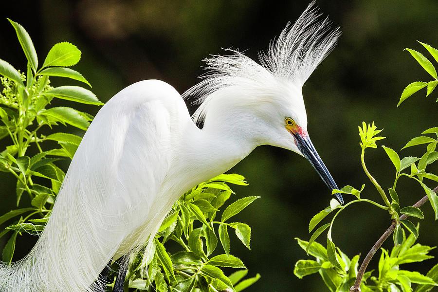 Snowy Egret by Fran Gallogly